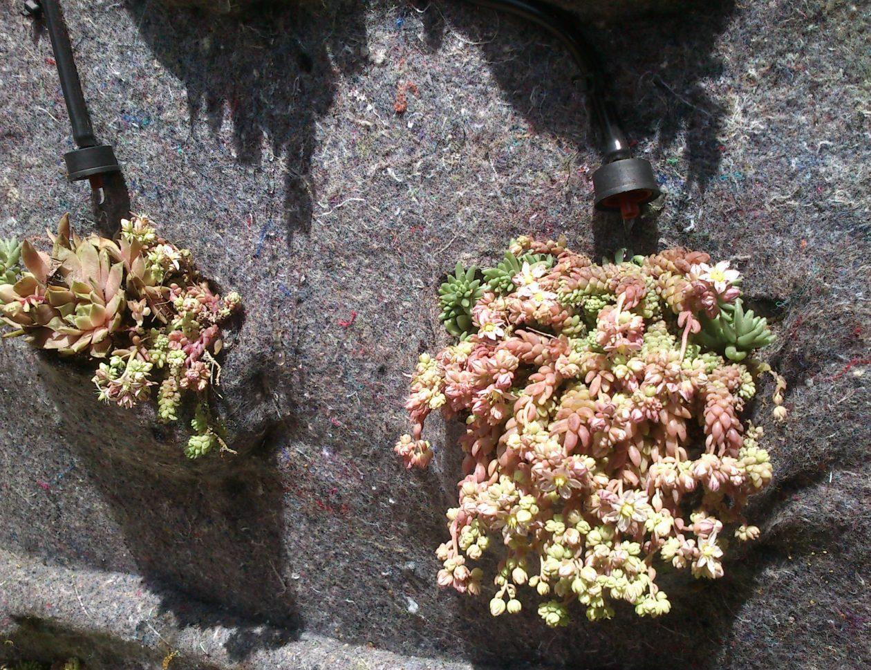 jardin vertical con crasas